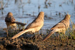 3 птицы наслаждаясь восходом солнца Стоковое Фото