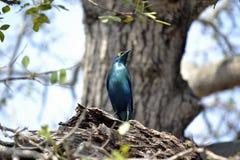 Птицы, национальный парк Kruger Стоковая Фотография RF