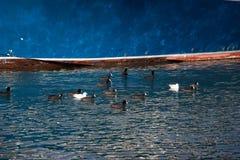 Птицы на воде с голубой предпосылкой Стоковые Изображения RF