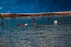 Птицы на воде с голубой предпосылкой Стоковое Изображение RF