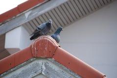 Птицы на крыше Стоковое Изображение RF