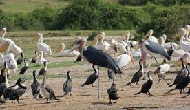 Птицы на национальном парке ферзя Элизабета в Уганде стоковая фотография rf