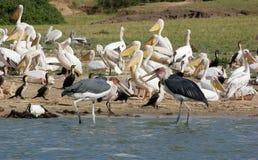 Птицы на национальном парке ферзя Элизабета в Уганде Стоковое Изображение RF