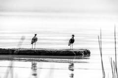 2 птицы на озере Langano Стоковое Изображение