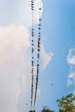 Птицы на проводе в национальном парке Непале Chitwan Стоковое Изображение RF