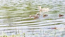 Птицы на пруде Стадо уток и голубей водой MI Стоковые Фото
