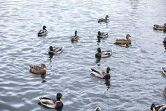 Птицы на пруде Стадо уток и голубей водой MI Стоковые Изображения RF