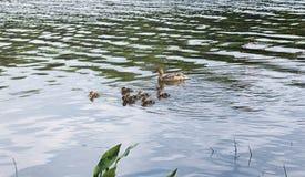Птицы на пруде Стадо уток и голубей водой MI Стоковые Изображения