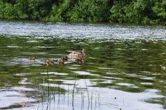 Птицы на пруде Стадо уток и голубей водой MI Стоковые Фотографии RF