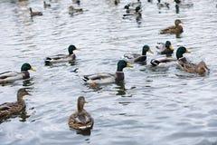 Птицы на пруде Стадо уток и голубей водой MI Стоковое Изображение RF