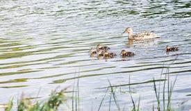 Птицы на пруде Стадо уток и голубей водой MI Стоковое Фото
