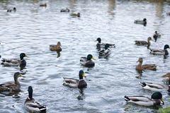 Птицы на пруде Стадо уток и голубей водой MI Стоковое фото RF