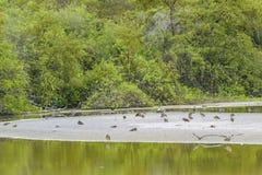 Птицы на пруде, El Garrapatero, Галапагос, эквадоре Стоковое Изображение RF