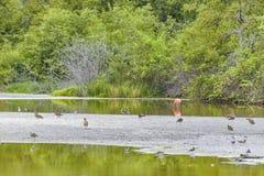 Птицы на пруде, El Garrapatero, Галапагос, эквадоре Стоковые Изображения