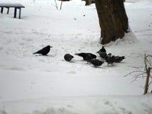 Птицы на снеге Стоковая Фотография RF