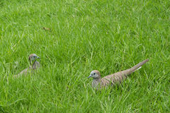 Птицы на лужайке Стоковое фото RF
