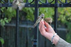 2 птицы на человеческой руке Стоковое Фото