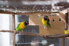 Птицы неразлучников на ветви Стоковые Изображения RF