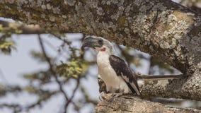 Птицы-носорог Von der Decken's на дереве стоковое фото rf