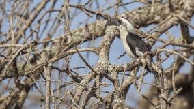 Птицы-носорог Von der Decken's на дереве стоковые изображения