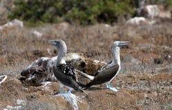 Птицы олухов Галапагос сине-footed стоковые фотографии rf