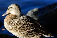 Птицы осени на воде Стоковые Изображения