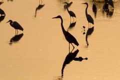 Птицы отраженные на воде Бразильская живая природа Стоковые Изображения
