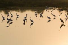 Птицы отраженные на воде Бразильская живая природа Стоковые Фото