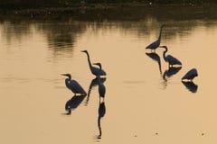 Птицы отраженные на воде Бразильская живая природа Стоковые Изображения RF