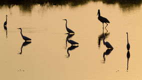 Птицы отраженные на воде Бразильская живая природа Стоковое Изображение RF