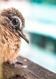 Птицы одной недели старые на крыше Стоковые Изображения