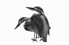 Птицы пар на белизне Стоковые Фотографии RF