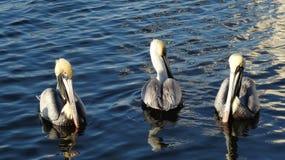Птицы пера Стоковые Фотографии RF
