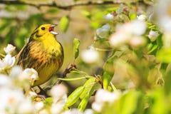 Птицы песни поя в цветках в деревьях Стоковые Фотографии RF