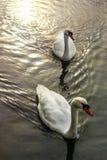 Птицы плавают на штиле на море стоковая фотография rf