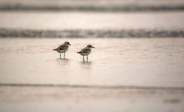 Птицы пляжа Стоковые Фото