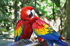 Птицы попугая ары Стоковые Изображения