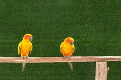 Птицы попугая conure Солнця стоя окунь на ветви Стоковые Фотографии RF