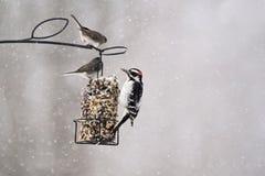 Птицы подавая на торте suet в зиме Стоковые Изображения
