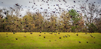 Птицы подогнали красным цветом, который черные Стоковые Фотографии RF