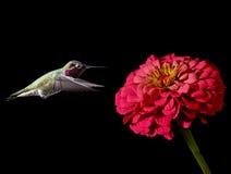 Птицы припевать летая против черной предпосылки Стоковая Фотография RF