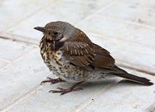 Птицы птенеца Стоковое Фото