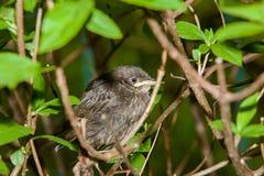 Птицы птенеца Стоковые Фото