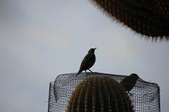 Птицы пустыни клонят быть очень более обильны где вегетация lusherее и таким образом предлагает больше насекомых, плодоовощ и сем стоковые изображения