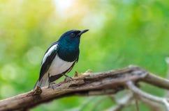 Птицы робина сороки птицы черно-белые восточные летают расплывчатая предпосылка, естественный зеленый цвет стоковое изображение rf