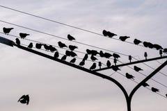 Птицы сидя на электрических проводах одна птица снизу мух к им, много перелётным птицам Стоковые Изображения RF