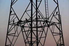 Птицы силуэта сидя на высоковольтном поляке рано вечером Стоковые Изображения RF