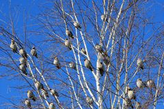 Птицы сидя на дереве в зиме, голубом небе Стоковые Фото