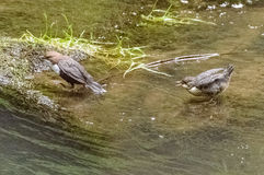 2 птицы сидя на утесе отчасти предусматриванном в мхе и отчасти предусматриванном в воде Стоковое Изображение