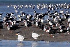 Птицы собирают, Isla Хуан Venado, Никарагуа стоковое изображение